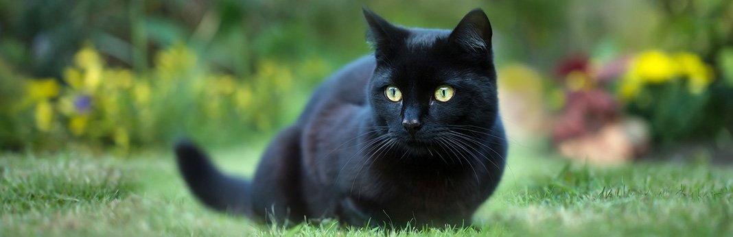 Bombay Cat: Breed Information, Characteristics and Facts