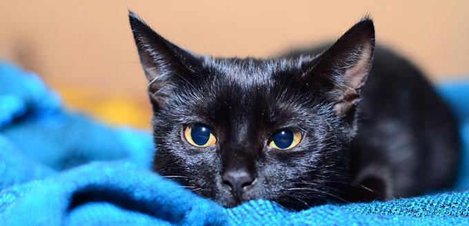 Bombay cat lying on the blue blanket