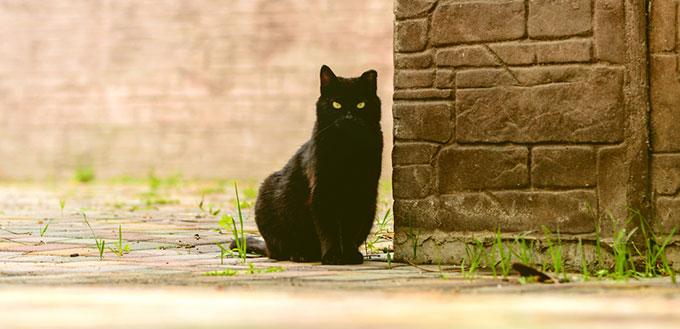 Bombay cat sitting