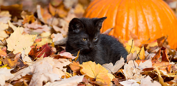 Bombay kitten and the leaves