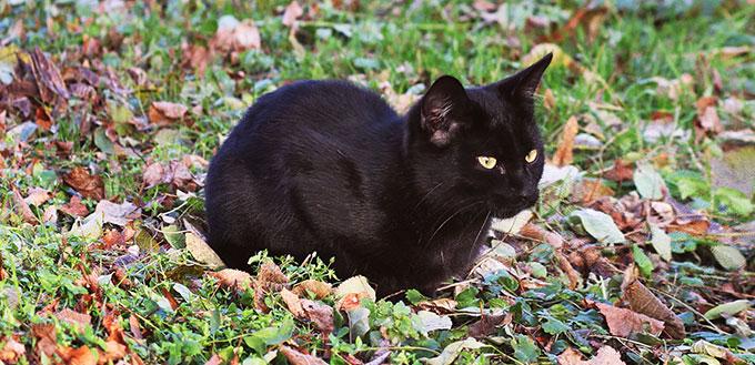 Bombay kitten on the grass