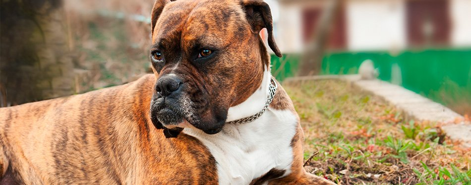 Boxer dog lying on the ground