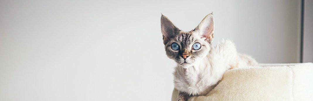 Devon Rex: Cat Breed Information, Characteristics and Facts