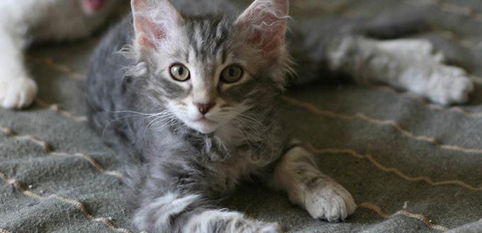 LaPerm cat lying on sofa
