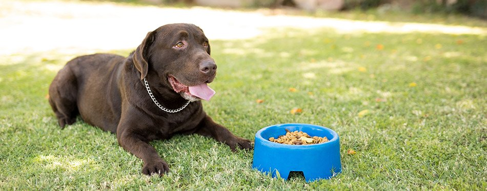 Labrador sitting near food bowl