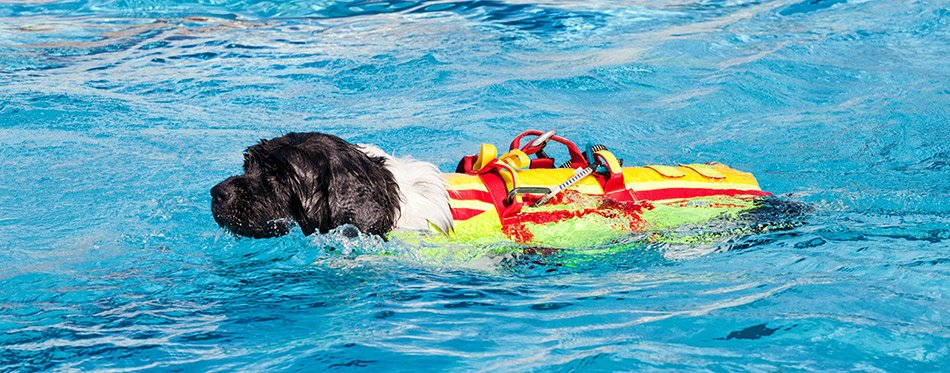 Lifeguard dog in swimming pool