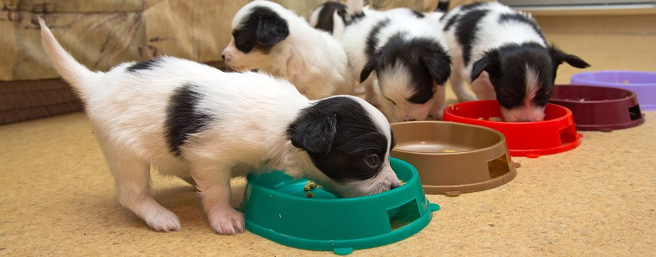 Little Puppies eating