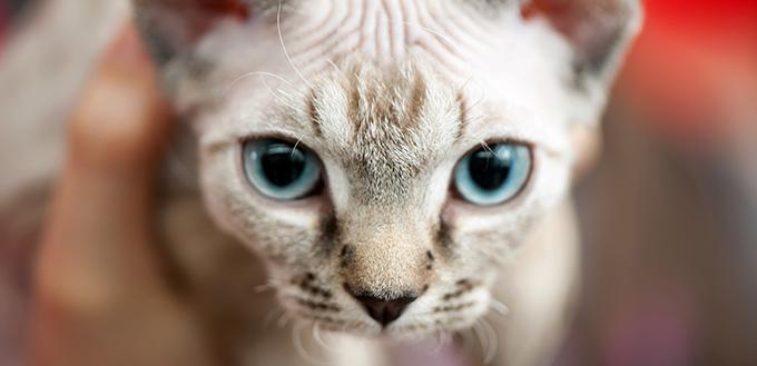 Minskin kitten with blue eyes