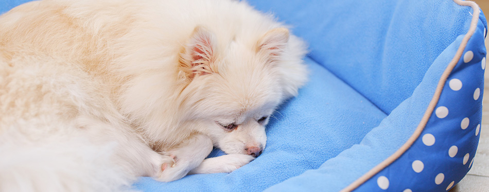 Pomeranian Dog lying on bed
