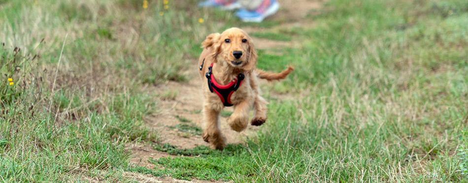 Puppy running on green grass