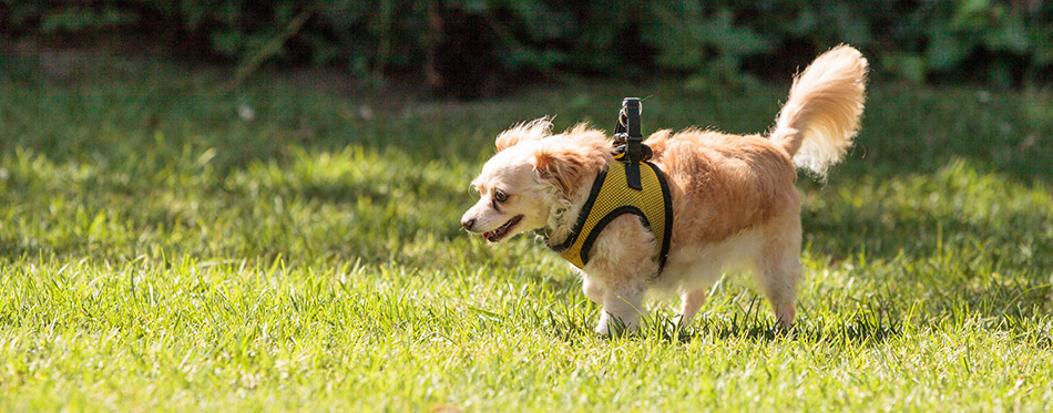 Small Dog with Harness