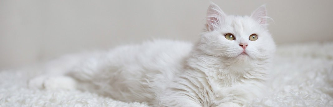 Turkish Angora: Cat Breed Information, Characteristics and Facts