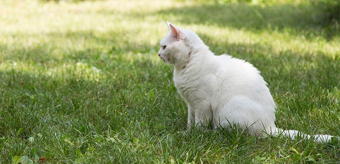 Turkish Angora sitting in the grass