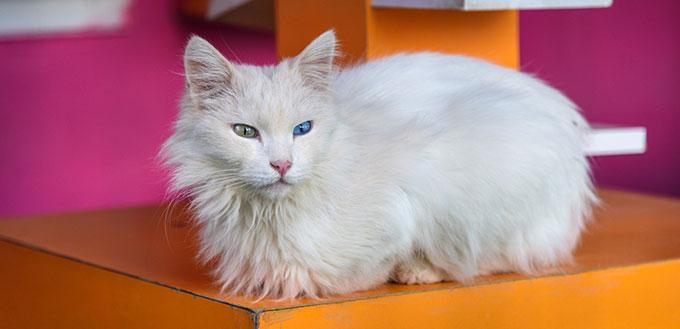 Turkish Angora sitting on the box