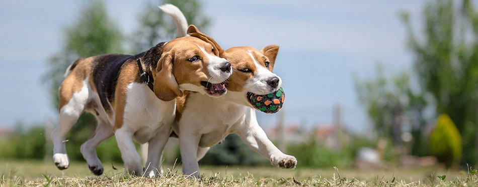 Two dogs playing with one ball