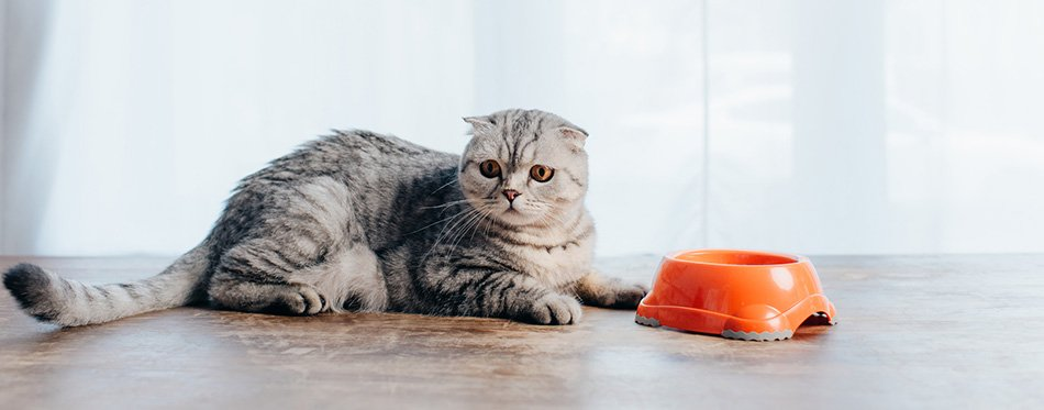 cat lying on table near bowl with pet food