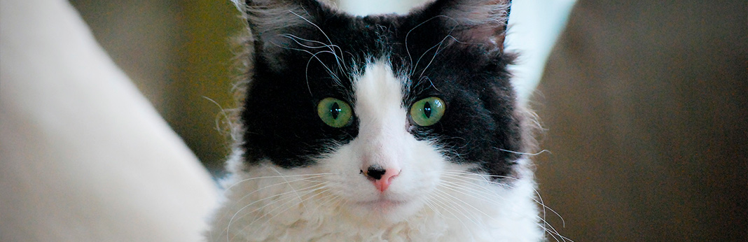 laperm-cat-breed-information