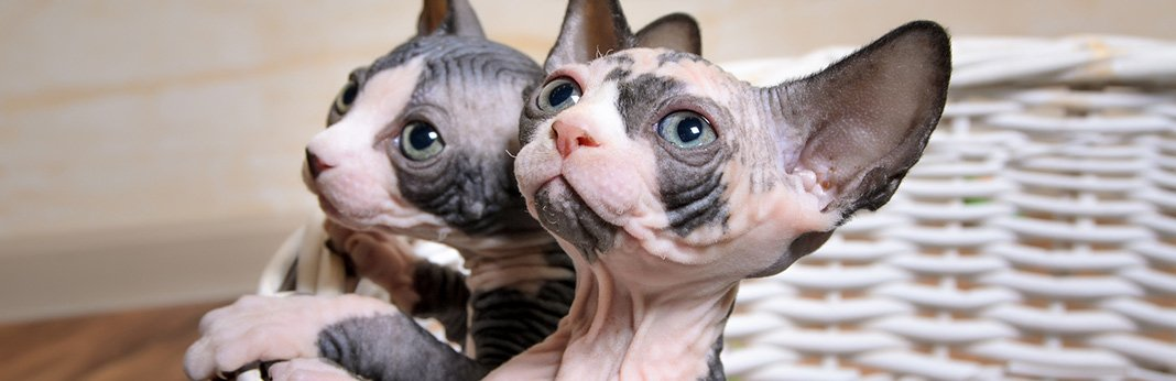 minskin-cat-breed-information,-characteristics-and-facts