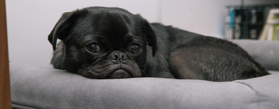 pug lying in dog bed