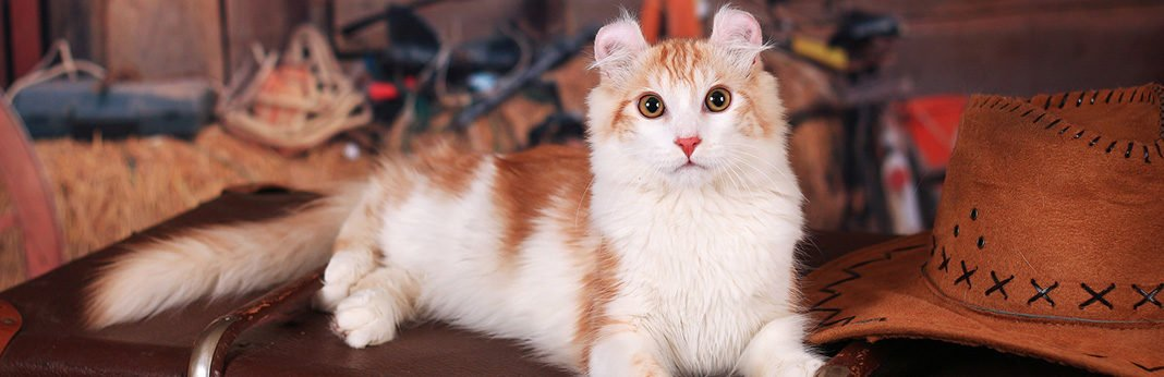 American Curl: Cat Breed Information, Characteristics and Facts
