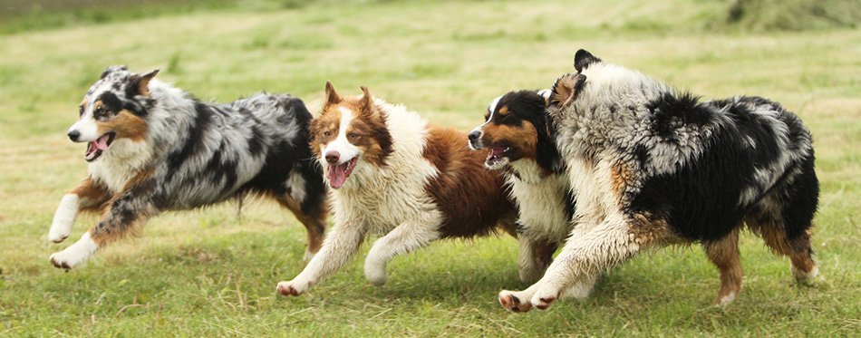 Australian Shepherds Running