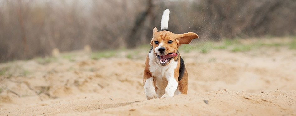 Beagle dog running