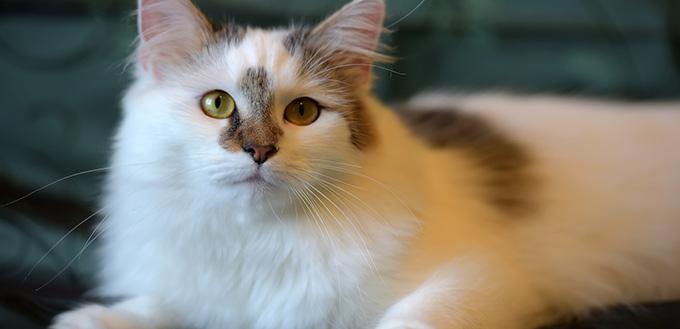 Beautiful white fluffy van cat