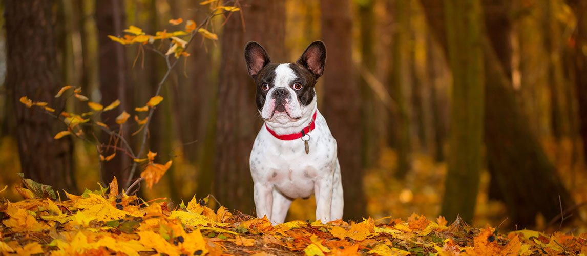 Best-Dog-Food-for-French-Bulldogs