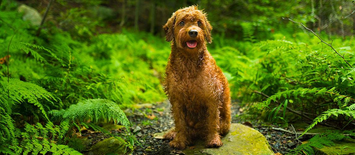 Best-Dog-Food-for-Goldendoodles-1