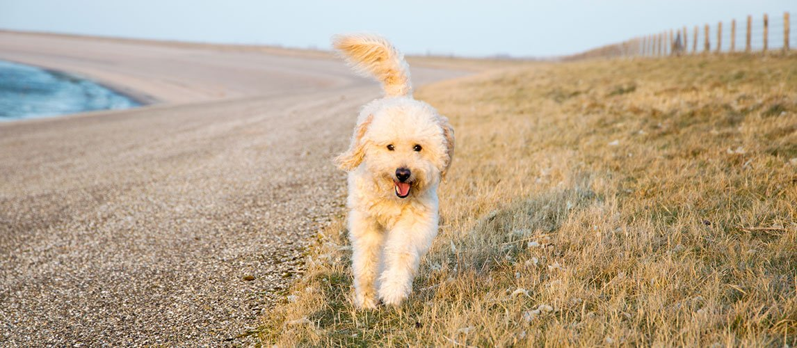 Goldendoodle running outside