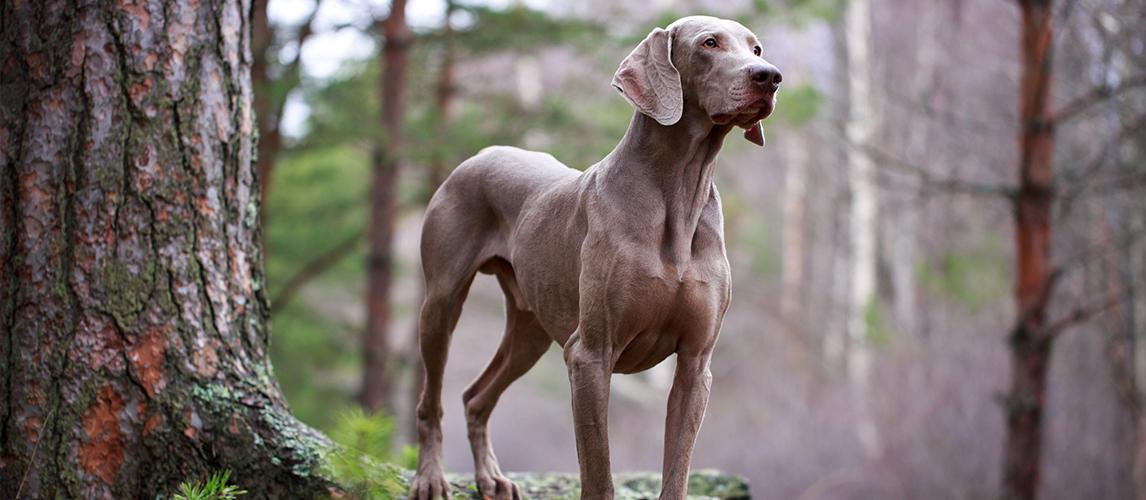Best-Dog-Foods-for-Weimaraners