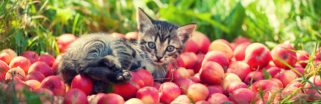 Can Cats Eat Apples?