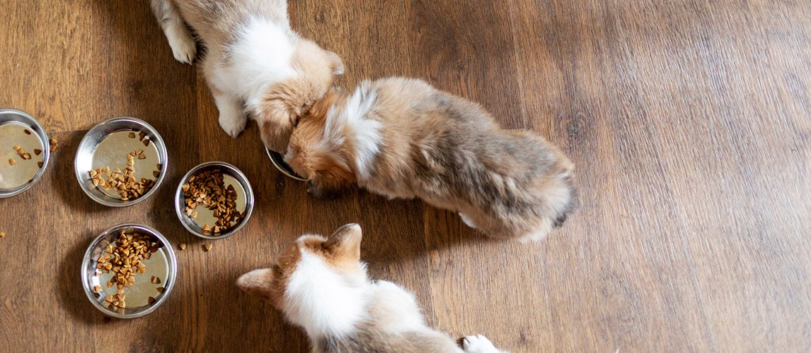 Cute-puppies-eating-dry-food-at-home