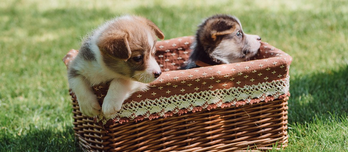 Cute-welsh-corgi-puppies-in-wicker-box-on-green-grassy-lawn