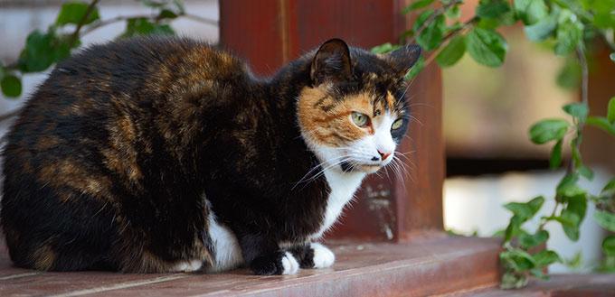 Cymric Cat sitting