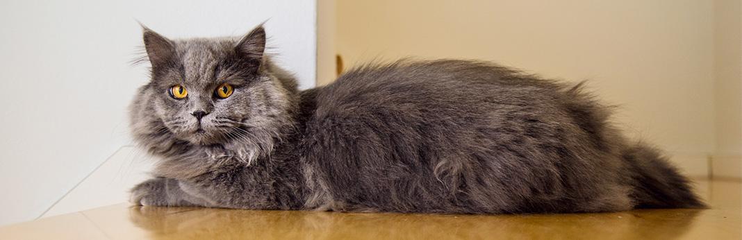 Cymric-Cat