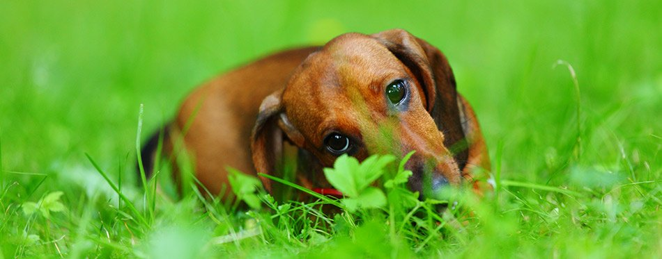 Dachshund eating in the grass