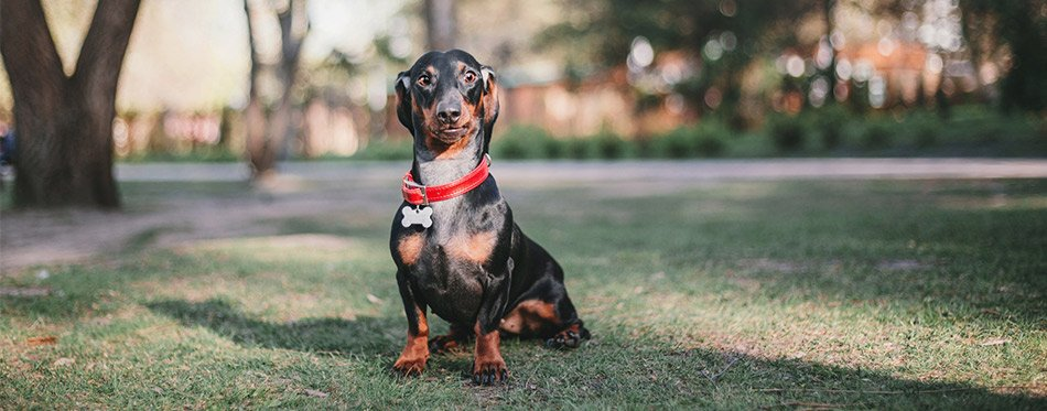 Dachshund sitting in the park