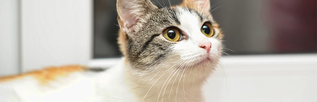 Japanese Bobtail Information, Characteristics and Facts