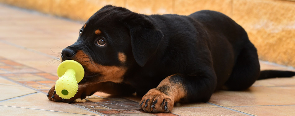 Little rottweiler with a toy