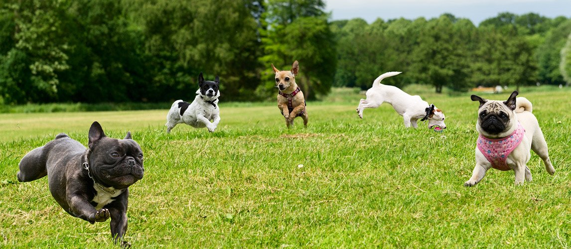 Small-Breeds-Dogs
