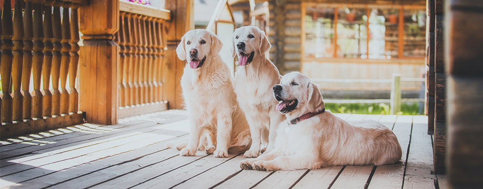 Three Golden Retriever Dogs