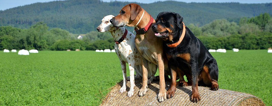 Three dogs with GPS collars