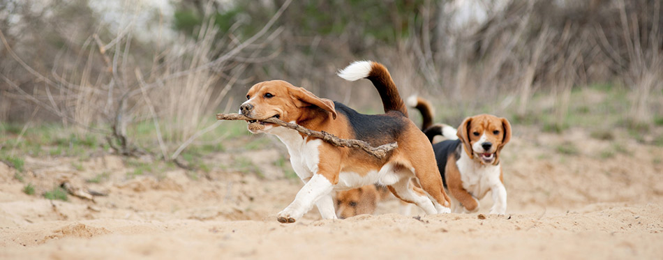 Two beagle dogs running