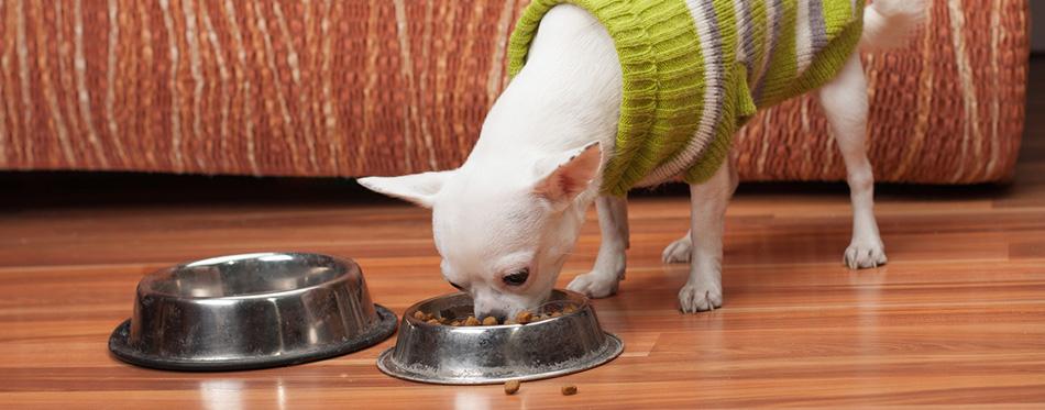 chihuahua eating food at home