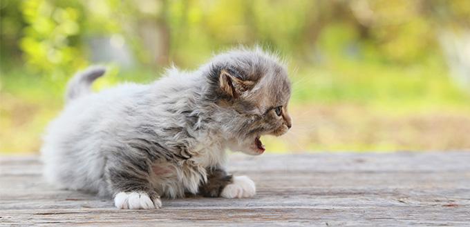 kitten caterwauling