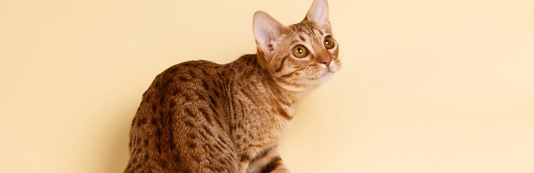ocicat cat breed information, characteristics and facts