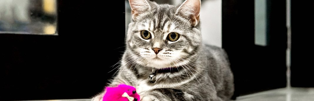 ten cat breeds with the longest lifespan