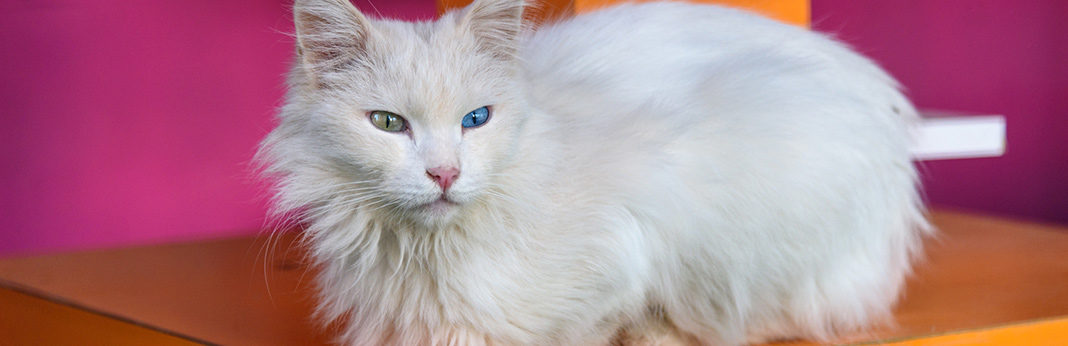 van cat breed information, characteristics and facts