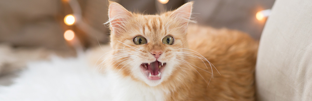 what is caterwauling and why do cats do it